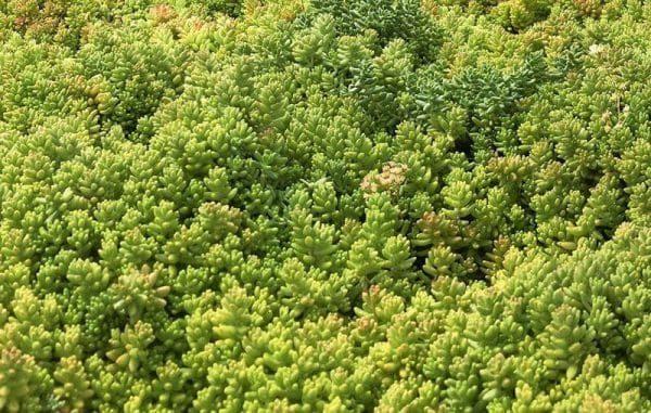 седум на зеленой крыше ECORASTER