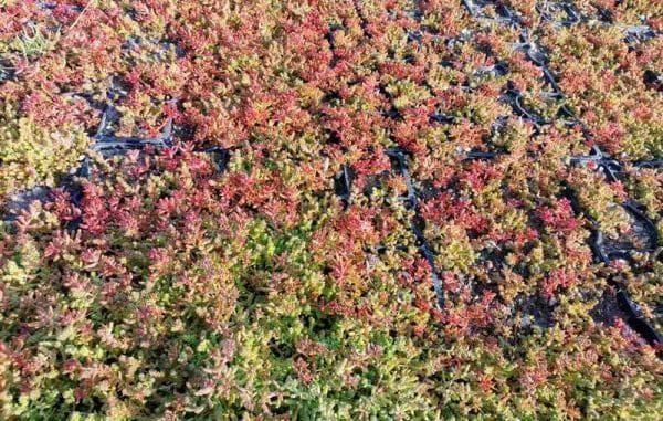 Озеленение крыш седумом Беларусь
